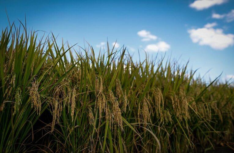 Crescimento de soja em áreas de arroz