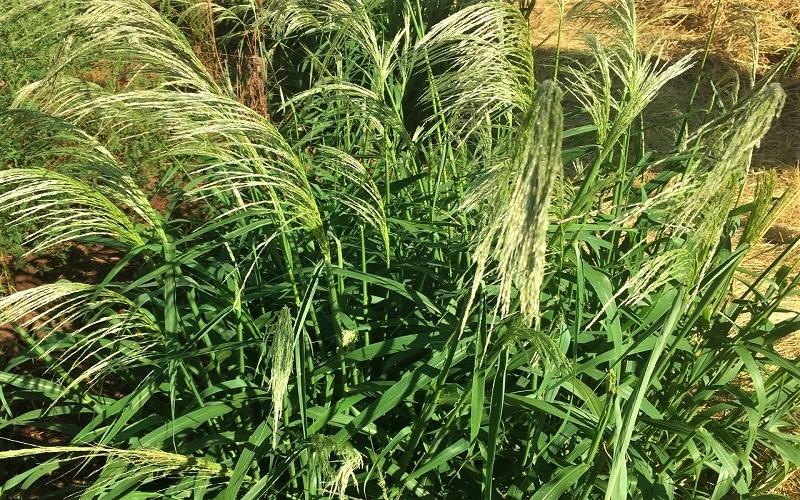 Resistência do capim-amargoso aos herbicidas