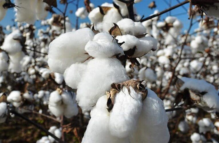 Exportações de algodão já batem desempenho de 2020
