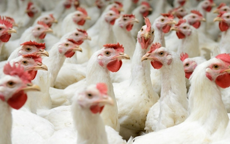 Novo manual da avicultura visa fortalecer segurança