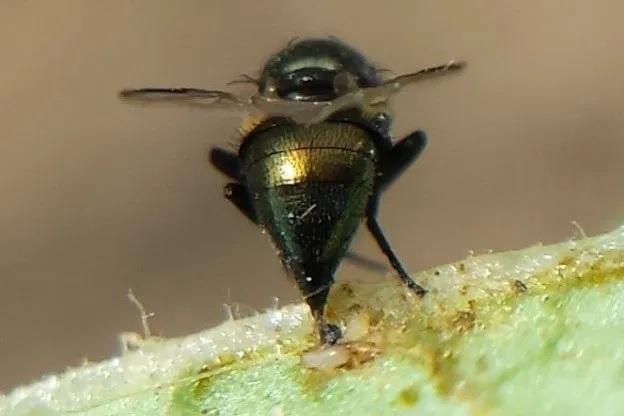 Ataque de mosca-da-haste em lavouras de soja