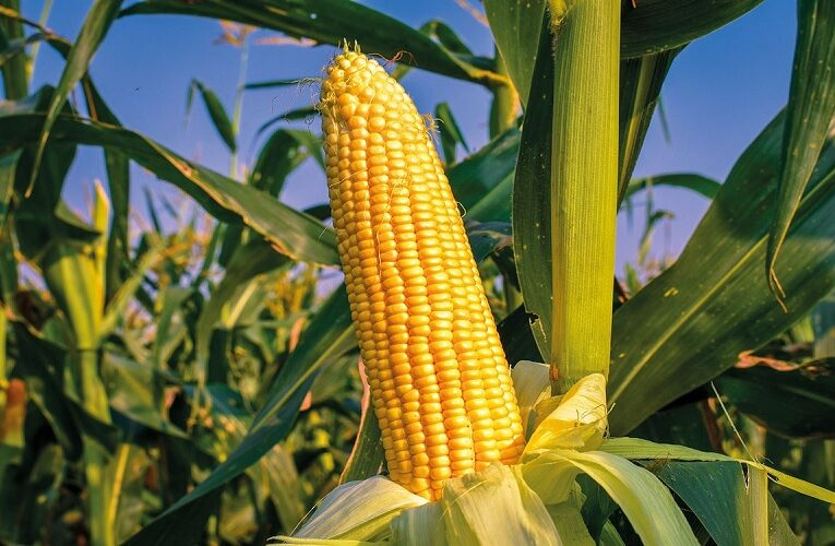 Requisitos fitossanitários para milho e mirtilo