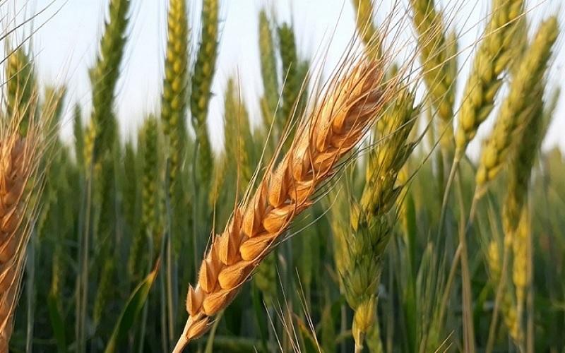 Queda do dólar pressiona preços do trigo
