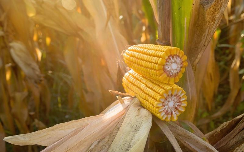 Preço alto pode compensar quebra de produtividade do milho