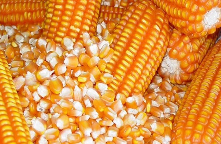 Mercado do milho fraco em negociações
