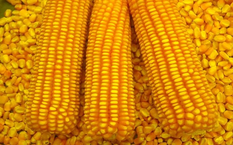 Cotações do milho em Chicago se recuperaram