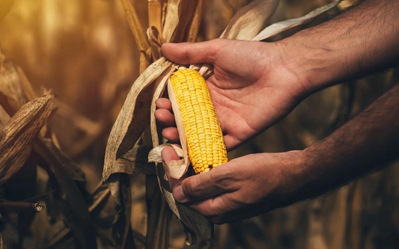 Clima e exportações fazem milho fechar em alta