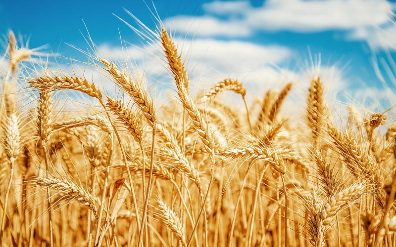 Mercados futuros do trigo se recuperando
