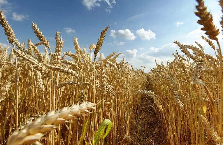 Mercado internacional do trigo