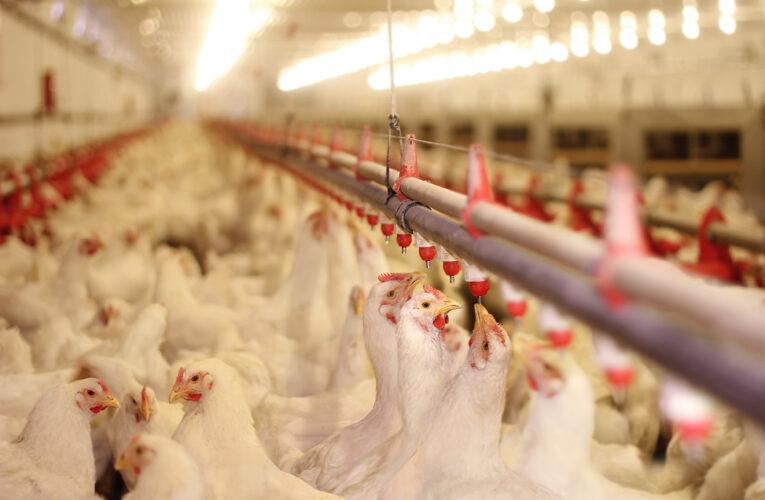 Controle de Salmonella na granja também é questão de saúde pública