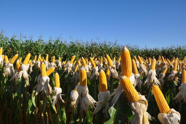 Da pamonha à carne: insetos, doenças e plantas daninhas podem prejudicar a safra de milho e causar explosão nos preços