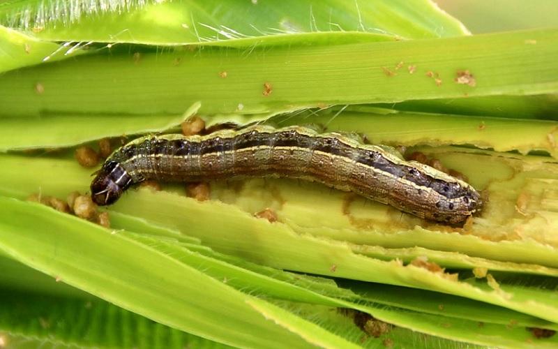 Manejo da lagarta no milho ditando o sucesso da lavoura