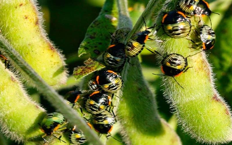 Ataque de insetos praga no Brasil