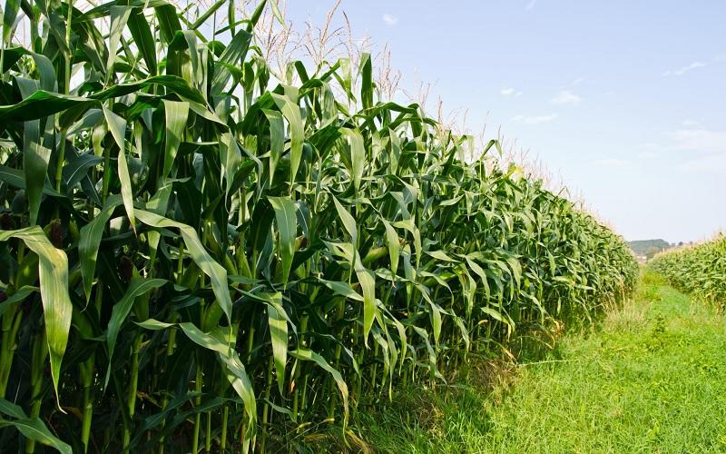 Frio intenso atinge lavouras de milho safrinha