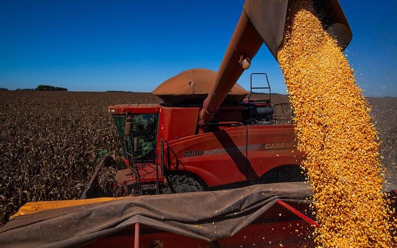 Danos no milho foram grandes em Dourados MS