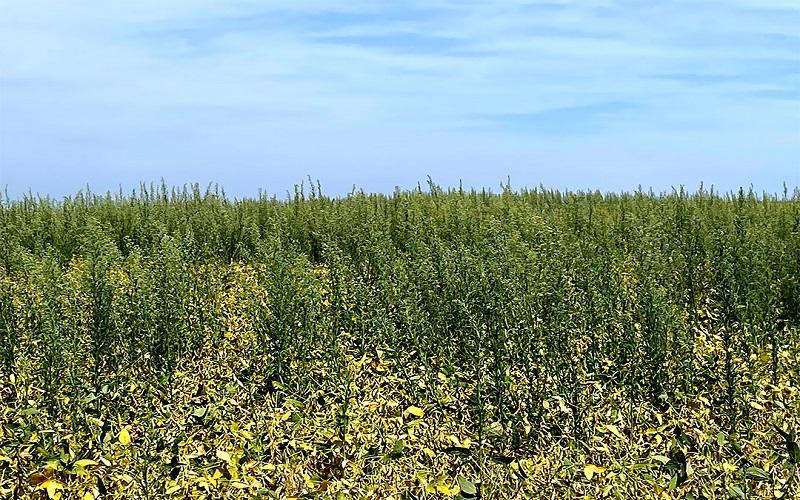 Resistência da buva aos herbicidas nas lavouras de soja
