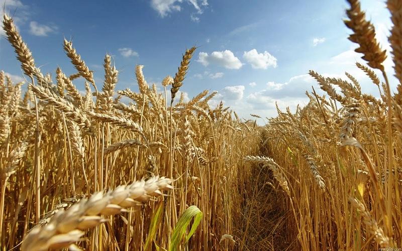 SC aposta em crescimento de 55% na safra de trigo