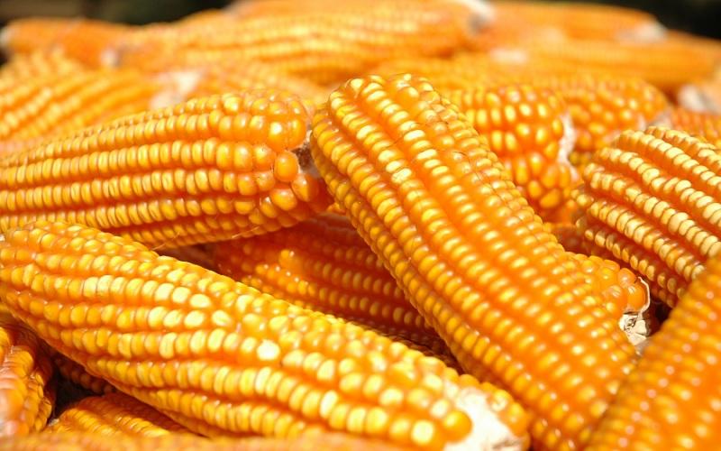Exportação de nutrientes do milho