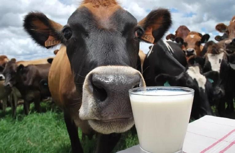 Custo de produção da pecuária leiteira prejudicando produtor