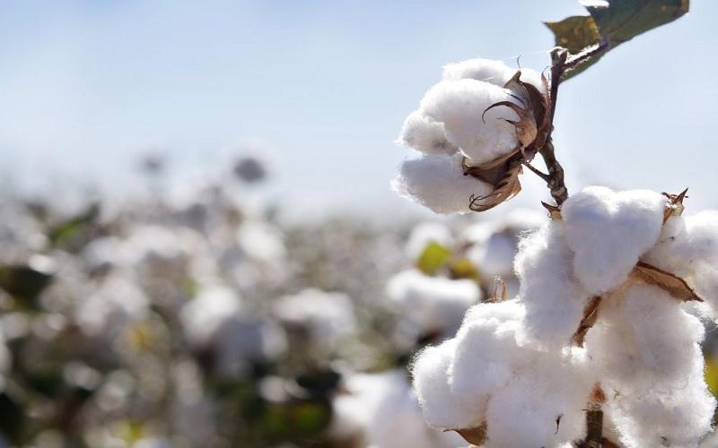 Altas externas e restrição vendedora elevam preços do algodão
