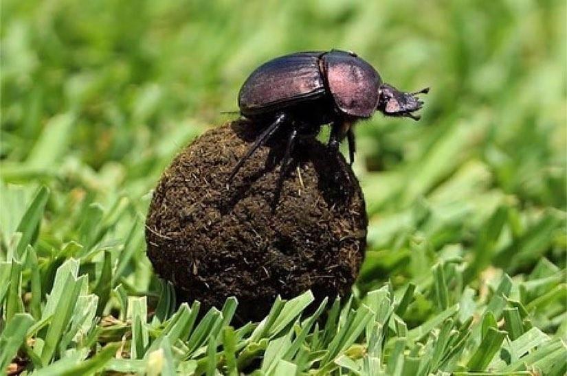Besouros coprófagos mais conhecidos como rola-bosta