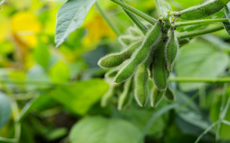 La Niña vai prejudicar a safra de soja no Brasil?