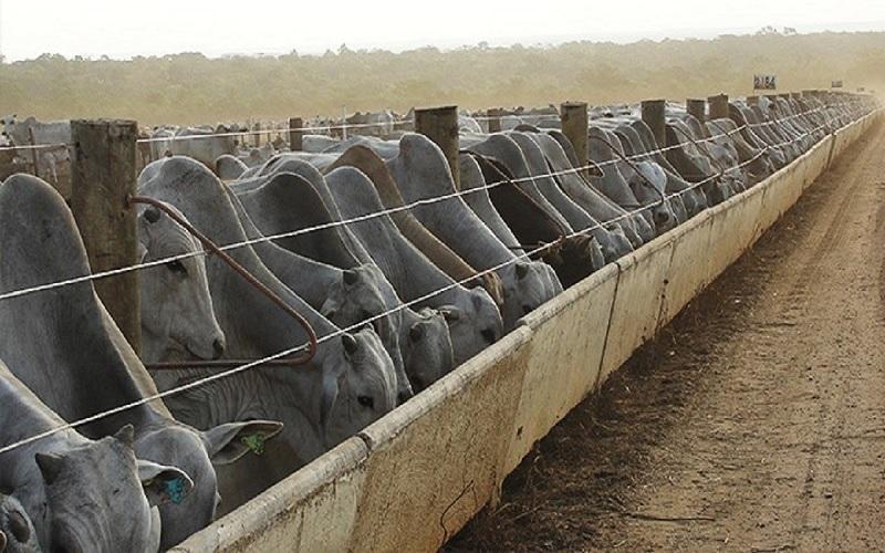 confinamento de gado de corte