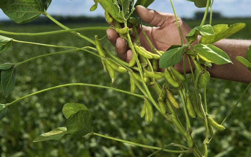 Comportamento das lagartas da soja em sua cobertura